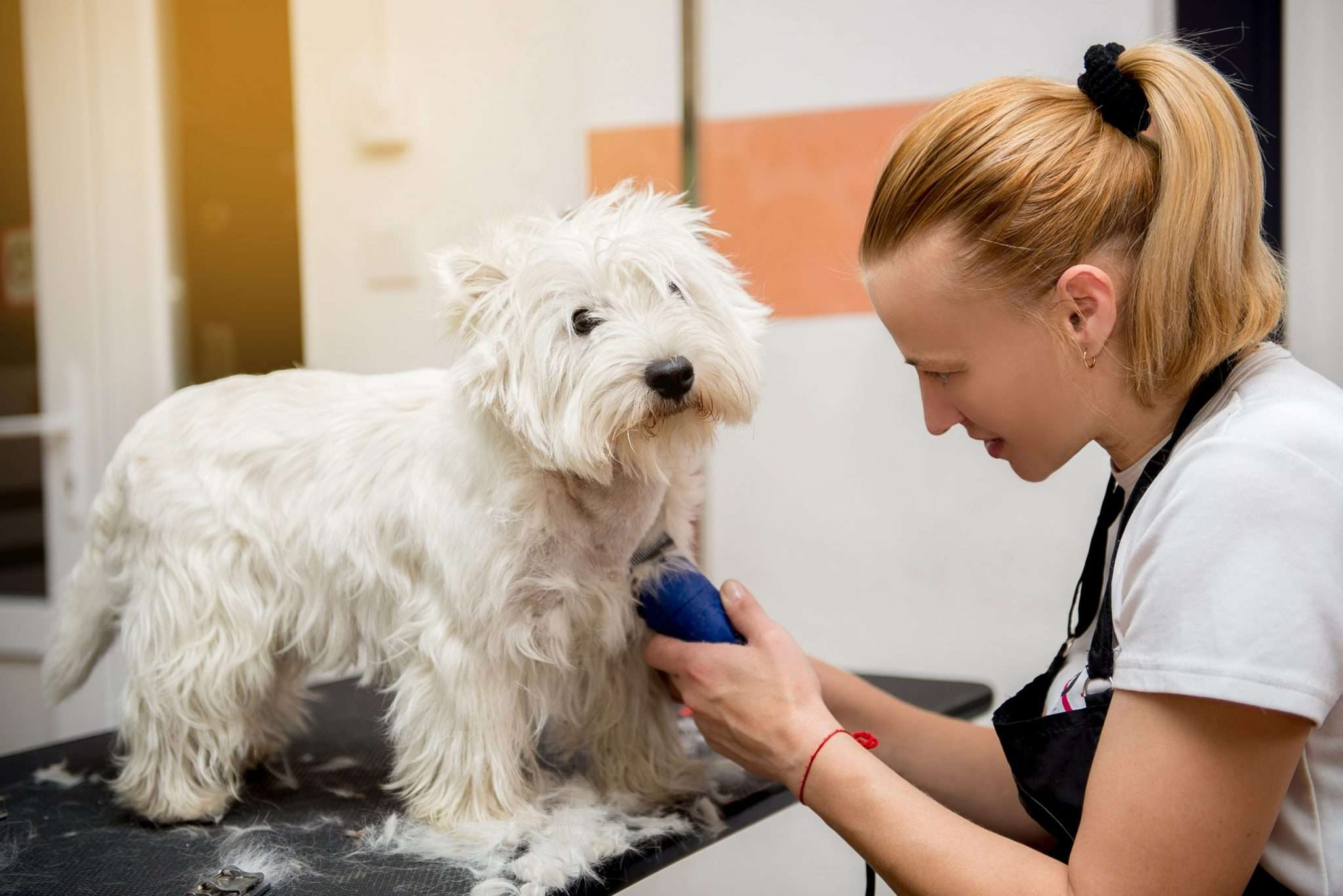 Westie at the Dog Groomers
