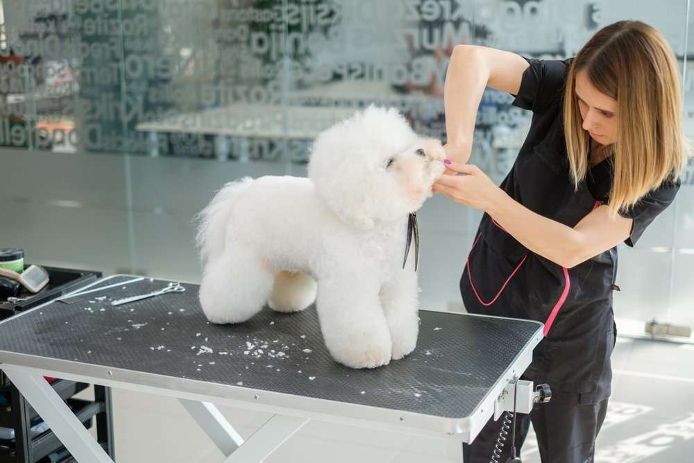 Bichon Frise at the Dog Groomers