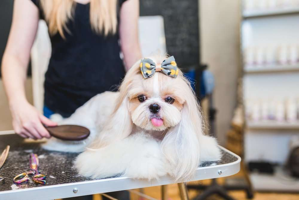 small dog at dog groomers with bow in her hair
